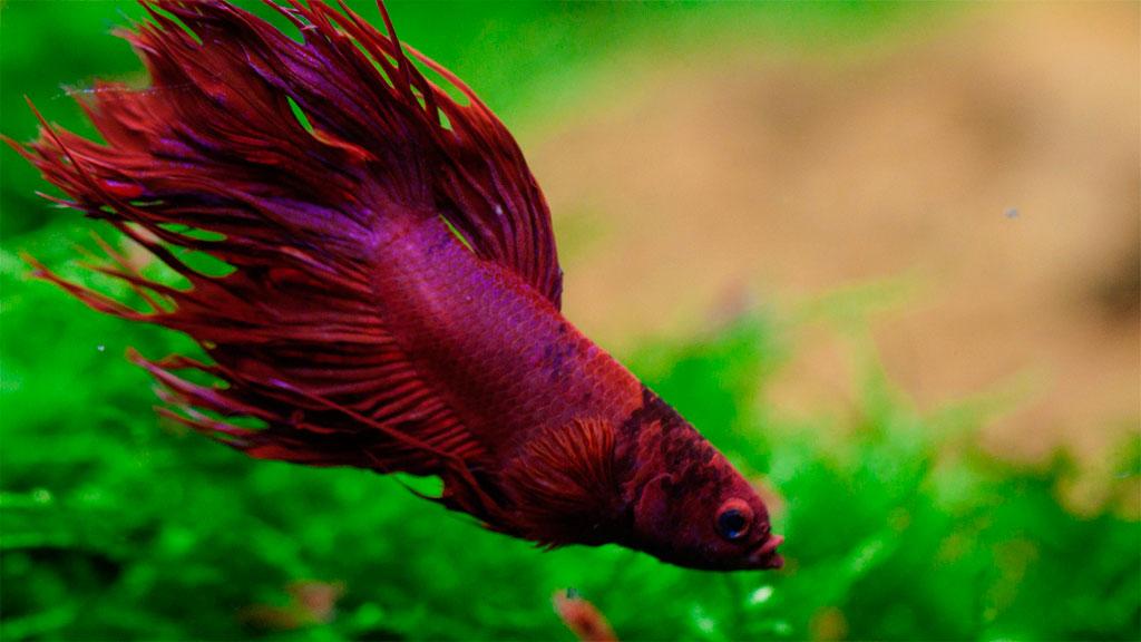 Петушок плавает в аквариуме